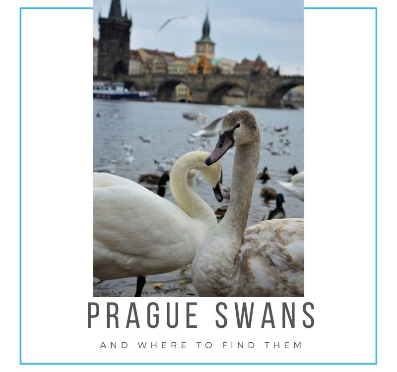 The best spot to make a picture of swans in Prague