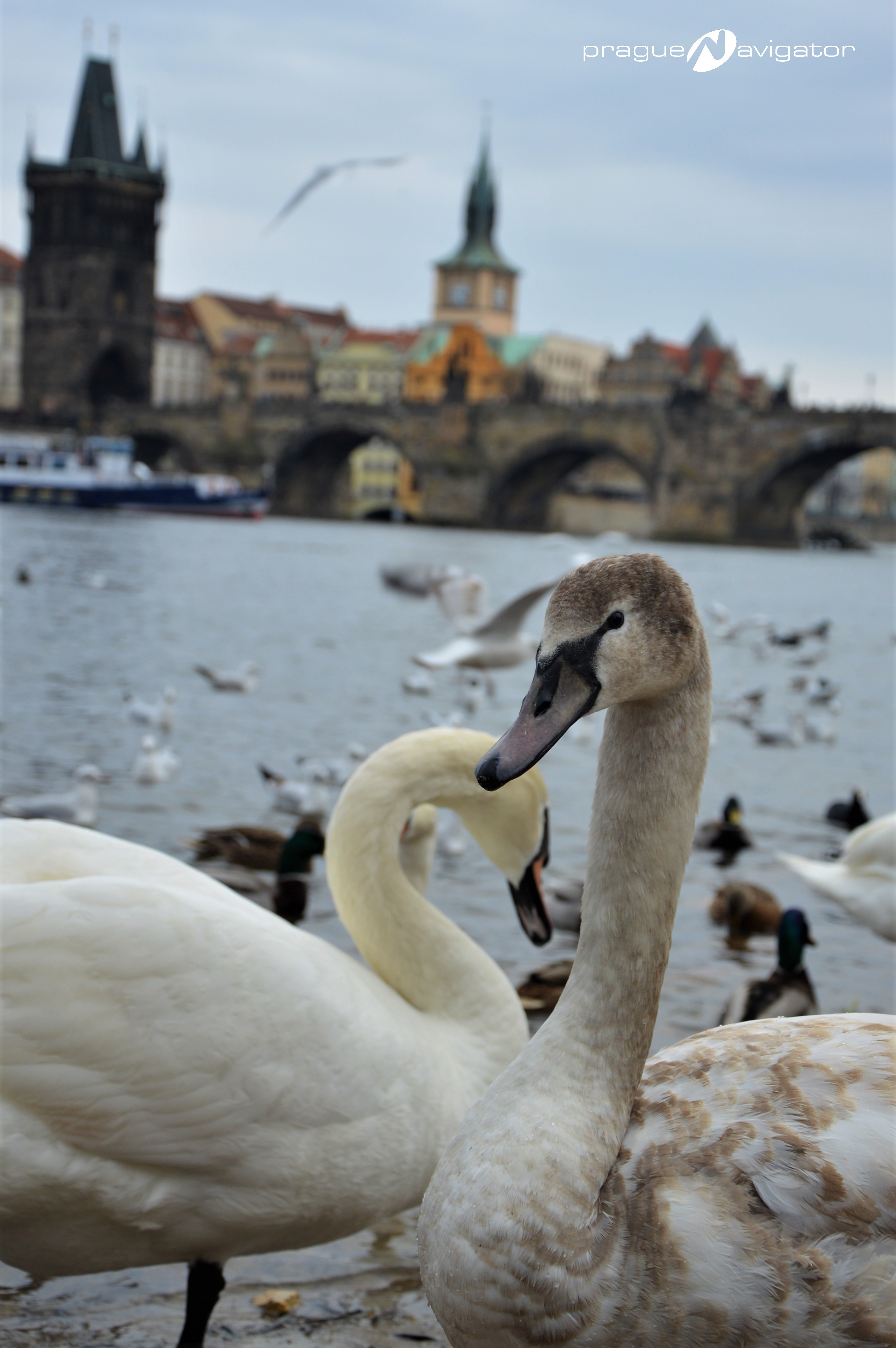 Prague-swans